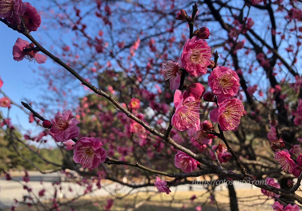 京都御所 早咲き 梅