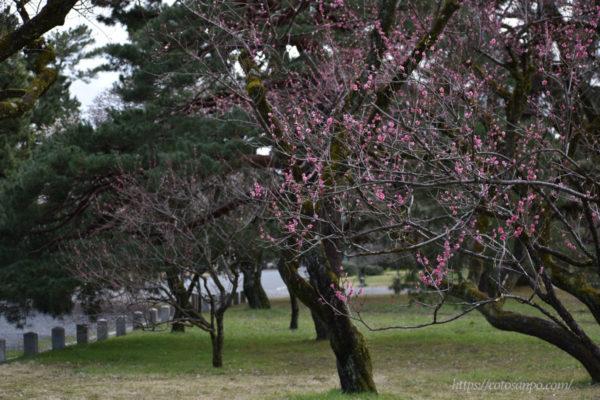 京都御苑梅