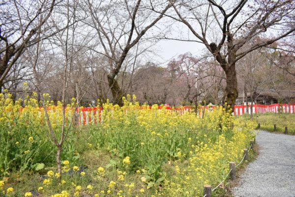 平野神社 菜の花