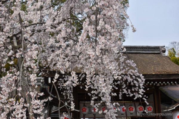 平野神社 桜