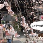 平野神社 魁 桜
