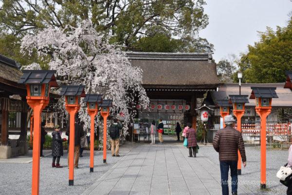 平野神社 桜 魁