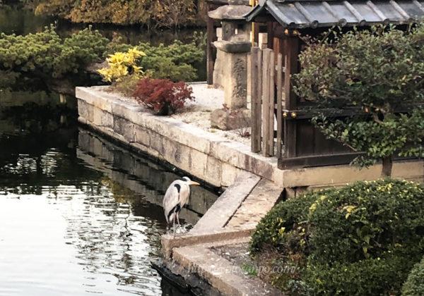 神泉苑 サギ