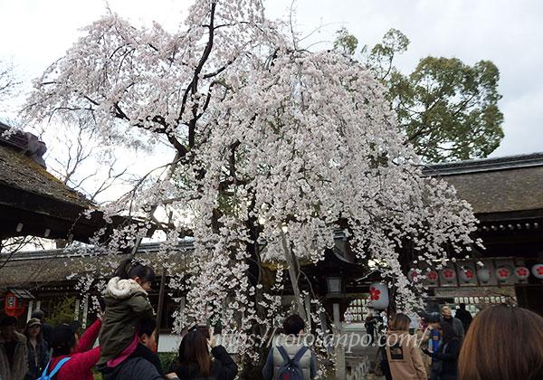 平野神社  さきがけ