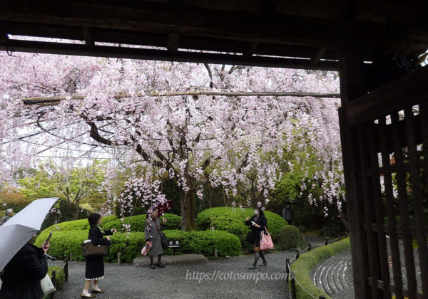 妙心寺 退蔵院 しだれ桜