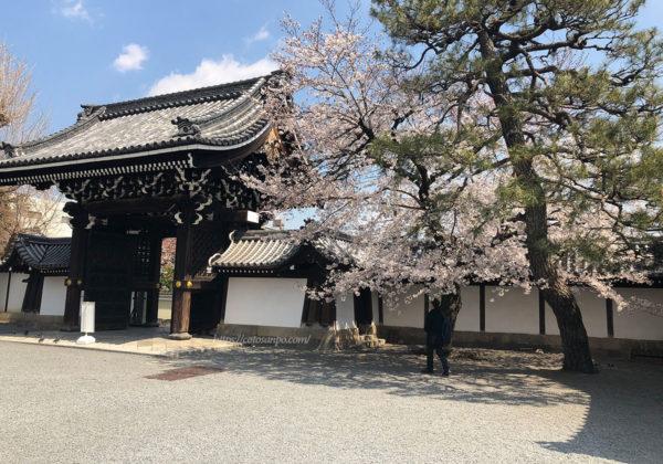佛光寺 桜