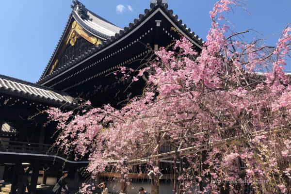 佛光寺 しだれ桜