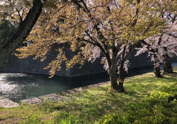 二条城 堀 桜