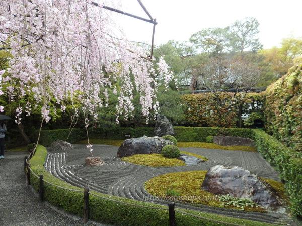 妙心寺 退蔵院 桜