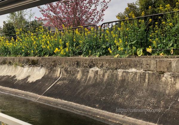 琵琶湖疏水船 桜