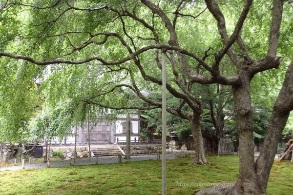 常照皇寺 桜