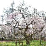 京都御苑 近衞邸跡 桜
