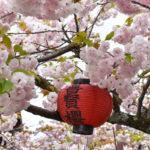 千本えんま堂 普賢象桜
